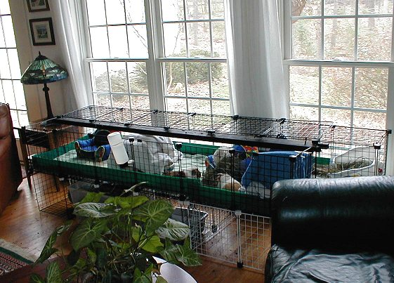 Guinea pigs living in luxury.