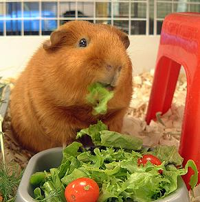 Guinea pig eating vegetables.