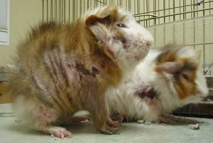 Guinea pigs with a severe case of mange mites.