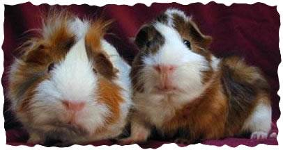 Two guinea pigs recovered from a severe infestation of mites.