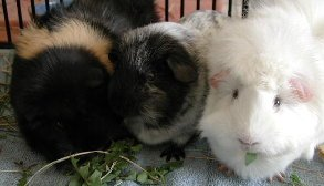 Picture of my three guinea pigs.