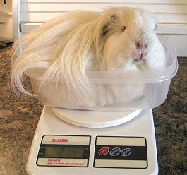 Guinea pig in scale.