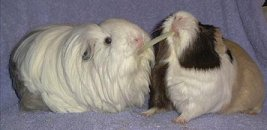 Two guinea pigs playing.