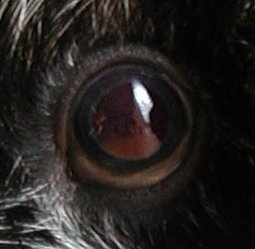 What Does It Mean When Your Dog S Eyes Are Red