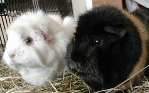 My two wonderful guinea pigs.